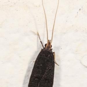 Lecithocera terrigena at Melba, ACT - 4 Jan 2021