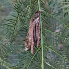 Clania sp. (genus) (A case moth) at Red Hill Nature Reserve - 17 Jan 2021 by JackyF