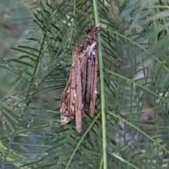Clania sp. (genus) (A case moth) at Deakin, ACT - 17 Jan 2021 by JackyF