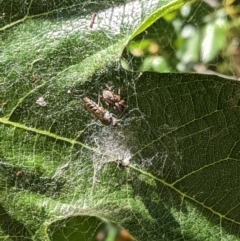 Badumna sp. (genus) at Hughes, ACT - 17 Jan 2021