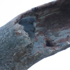Callocephalon fimbriatum (Gang-gang Cockatoo) at O'Malley, ACT - 16 Jan 2021 by roymcd