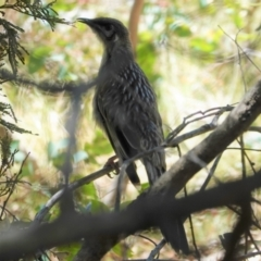 Anthochaera carunculata (Red Wattlebird) at Red Hill Nature Reserve - 17 Jan 2021 by JackyF