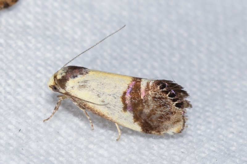 Eupselia satrapella and similar species at Melba, ACT - 5 Jan 2021