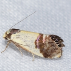 Eupselia satrapella and similar species (An Hypertrophid moth) at Melba, ACT - 5 Jan 2021 by kasiaaus
