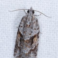 Acropolitis rudisana (A leafroller moth) at Melba, ACT - 5 Jan 2021 by kasiaaus