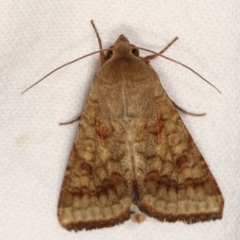 Helicoverpa (genus) (A bollworm) at Melba, ACT - 5 Jan 2021 by kasiaaus