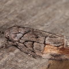 Illidgea epigramma (A Gelechioid moth) at Melba, ACT - 5 Jan 2021 by kasiaaus