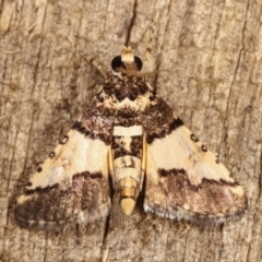 Nacoleia mesochlora (Pied Crambid) at Melba, ACT - 5 Jan 2021 by kasiaaus