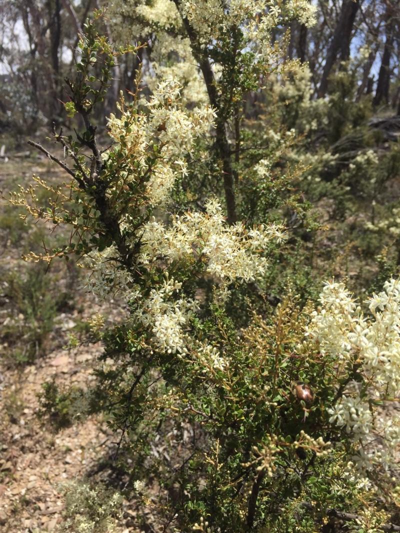 Bursaria spinosa at Peak View, NSW - 30 Dec 2020