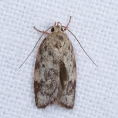 Garrha phoenopis (A Concealer moth) at Melba, ACT - 5 Jan 2021 by kasiaaus