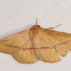 Aglaopus pyrrhata (Leaf Moth) at Melba, ACT - 5 Jan 2021 by kasiaaus