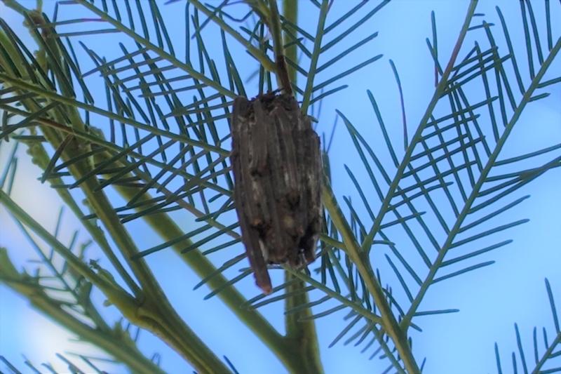 Clania ignobilis at Red Hill Nature Reserve - 17 Jan 2021