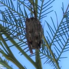 Clania ignobilis (Faggot Case Moth) at Deakin, ACT - 17 Jan 2021 by JackyF