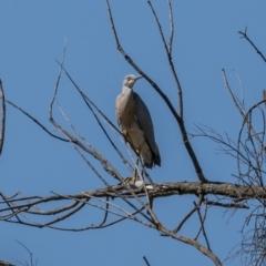 Egretta novaehollandiae (White-faced Heron) at Woodstock Nature Reserve - 16 Jan 2021 by trevsci