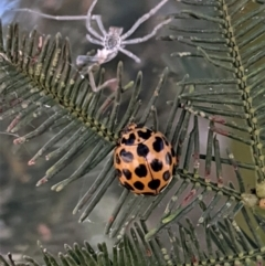 Harmonia conformis (Common Spotted Ladybird) at Red Hill Nature Reserve - 17 Jan 2021 by JackyF