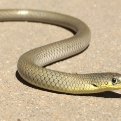 Delma inornata (Olive Legless-lizard) at Gang Gang at Yass River - 16 Jan 2021 by Jon Lewis