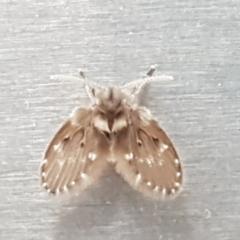 Psychodidae sp. (family) (Moth Fly, Drain Fly) at Lyneham, ACT - 17 Jan 2021 by tpreston
