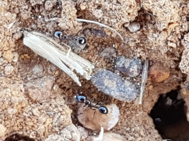 Monomorium sp. (genus) at Crace Grasslands - 18 Jan 2021
