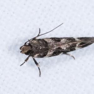 Macrobathra (genus) at Melba, ACT - 5 Jan 2021