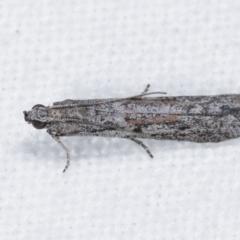 Meyrickiella homosema (Phycitine Moth) at Melba, ACT - 5 Jan 2021 by kasiaaus