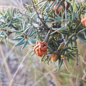 Lissanthe strigosa subsp. subulata at Crace Grasslands - 18 Jan 2021