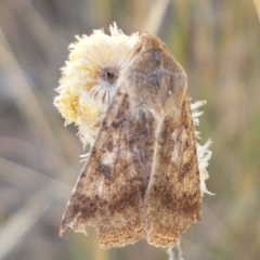 Helicoverpa (genus) (A bollworm) at Crace Grasslands - 17 Jan 2021 by tpreston