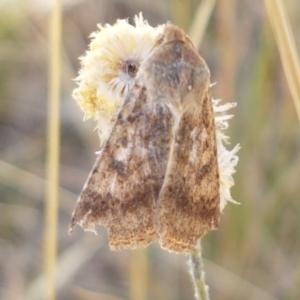 Helicoverpa (genus) at Crace Grasslands - 18 Jan 2021