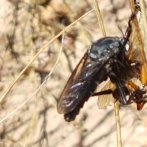 Apothechyla sp. (genus) at Crace Grasslands - 18 Jan 2021