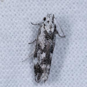 Lichenaula (genus) at Melba, ACT - 6 Jan 2021