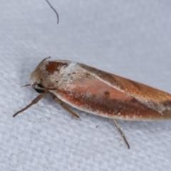 Ptyoptila matutinella (A Concealer moth) at Melba, ACT - 5 Jan 2021 by kasiaaus