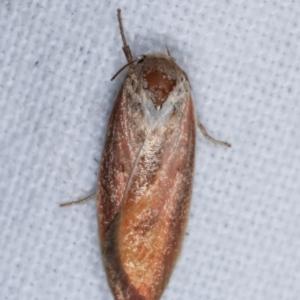 Ptyoptila matutinella at Melba, ACT - 6 Jan 2021
