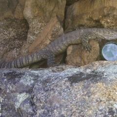Varanus rosenbergi (Rosenberg's Monitor) at Mount Clear, ACT - 13 Jan 2021 by ChrisHolder