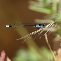 Ischnura heterosticta (Common Bluetail) at Stranger Pond - 17 Jan 2021 by RodDeb
