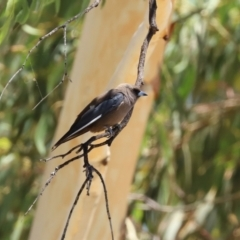Artamus cyanopterus (Dusky Woodswallow) at Greenway, ACT - 17 Jan 2021 by RodDeb