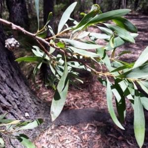 Hakea salicifolia (TBC) at suppressed by plants