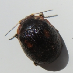 Trachymela sp. (genus) (TBC) at Gigerline Nature Reserve - 7 Jan 2021 by Christine