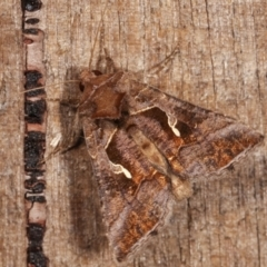 Chrysodeixis subsidens (A Noctuid moth) at Melba, ACT - 5 Jan 2021 by kasiaaus