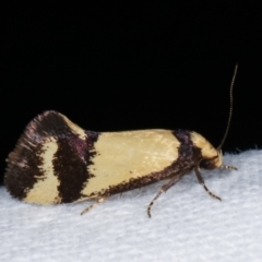 Olbonoma triptycha (Concealer moth) at Melba, ACT - 6 Jan 2021 by kasiaaus