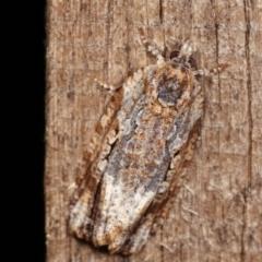Thrincophora signigerana (A Tortricid moth) at Melba, ACT - 6 Jan 2021 by kasiaaus