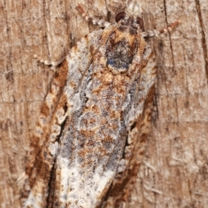 Thrincophora signigerana at Melba, ACT - 6 Jan 2021
