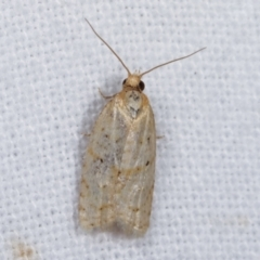 Tortricinae sp. (subfamily) (A tortrix moth) at Melba, ACT - 6 Jan 2021 by kasiaaus