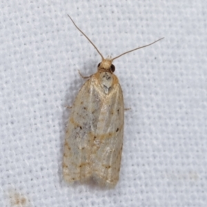 Tortricinae (subfamily) at Melba, ACT - 6 Jan 2021