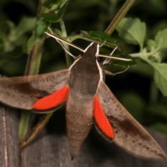 Hippotion scrofa (Coprosma Hawk Moth) at Melba, ACT - 6 Jan 2021 by kasiaaus