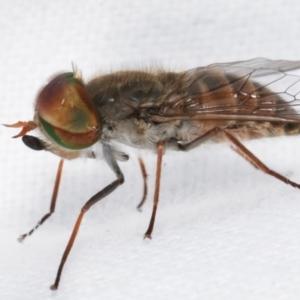 Dasybasis sp. (genus) at Melba, ACT - 6 Jan 2021