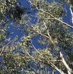 Coracina novaehollandiae at Hughes Garran Woodland - 18 Jan 2021
