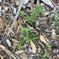 Dysphania pumilio (Small Crumbweed) at Hughes Garran Woodland - 18 Jan 2021 by ruthkerruish
