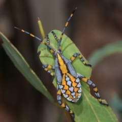 Amorbus alternatus (Eucalyptus Tip Bug) at Melba, ACT - 5 Jan 2021 by kasiaaus
