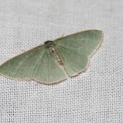 Chlorocoma (genus) (Emerald moth) at Black Mountain - 8 Apr 2019 by AlisonMilton