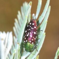 Diphucrania leucosticta (White-flecked acacia jewel beetle) at Bruce Ridge - 17 Jan 2021 by Harrisi