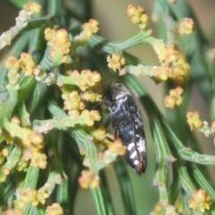 Hypocisseis suturalis (Cherry Ballart Jewel Beetle) at Bruce Ridge - 17 Jan 2021 by Harrisi